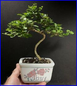 Bonsai Tree Chinese Privet Mame, 5 years, 11 Tall, Hand Painted Marked Panda G